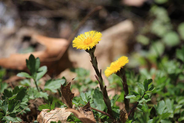 Photograph - Coltsfoot by Rick Morgan