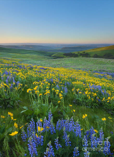 Wall Art - Photograph - Columbia Hills Wildflower Dawn by Mike Dawson
