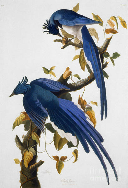 Wall Art - Photograph - Columbia Jay, 1830, by Granger