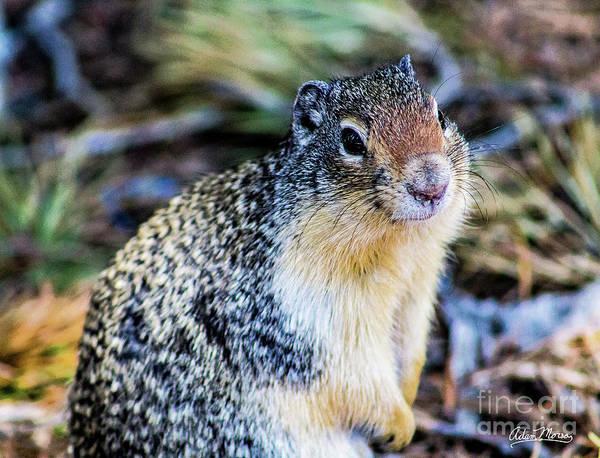 Photograph - Columbian Ground Squirrel by Adam Morsa