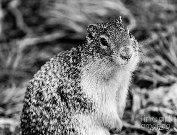 Photograph - Columbian Ground Squirrel, Black And White by Adam Morsa