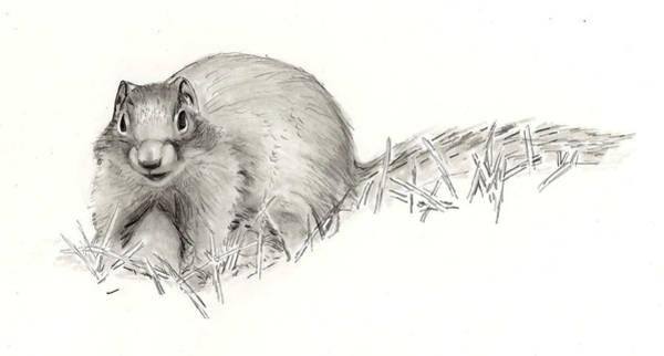 Drawing - Columbian Ground Squirrel by Marsha Karle