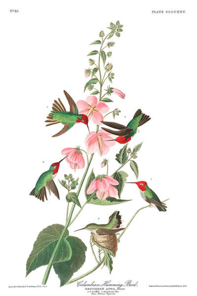 Wall Art - Painting - Columbian Humming Bird by John James Audubon
