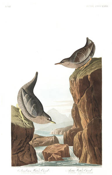 Wall Art - Painting - Columbian Water Ouzel by John James Audubon