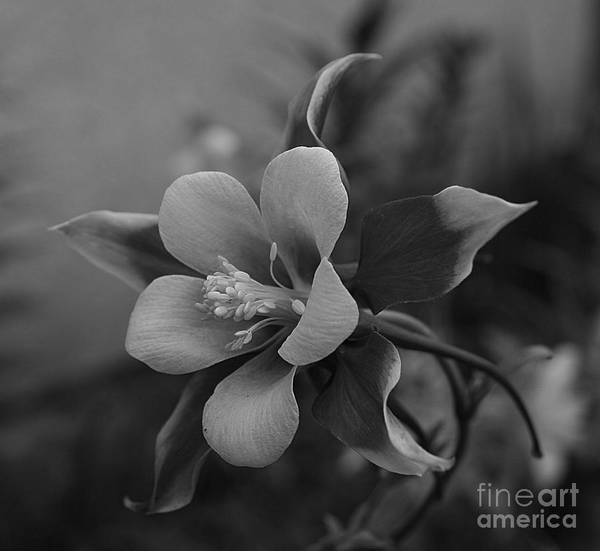 Photograph - Columbine  Bw by Tony Baca