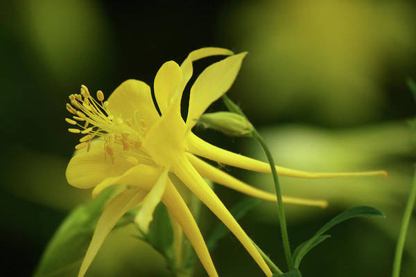 Photograph - Columbine Close-up by Marie Leslie