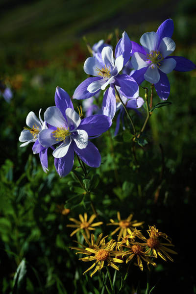 Wall Art - Photograph - Columbine Colorado by Mike Berenson