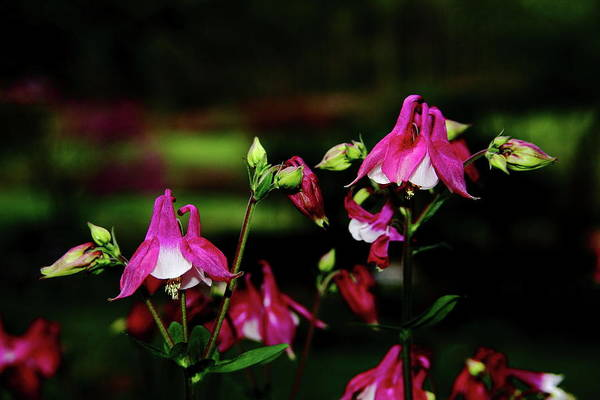 Photograph - Columbine Flower Gathering by Allen Nice-Webb