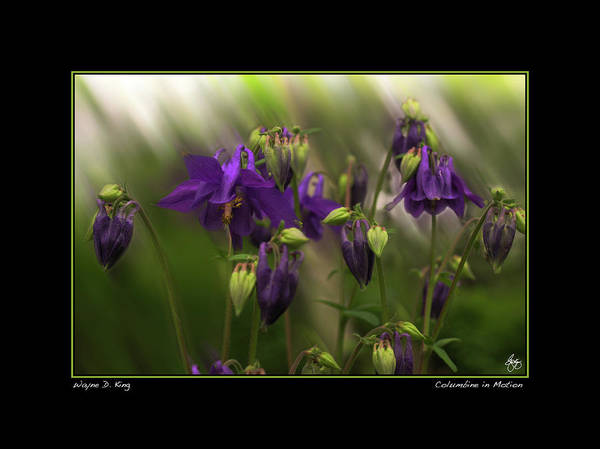 Photograph - Columbine In Motion Poster by Wayne King