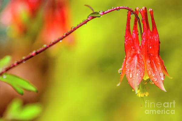 Photograph - Columbine In The Rain by Thomas R Fletcher