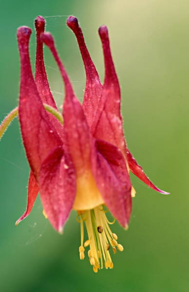 Photograph - Columbine by Larry Ricker