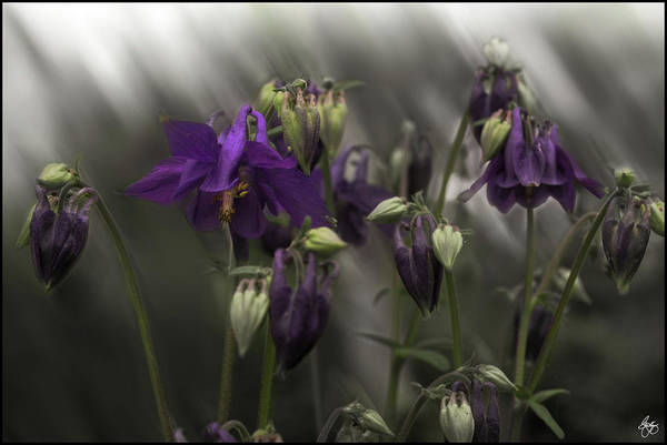 Photograph - Columbine Mindscape by Wayne King