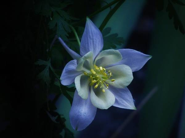Photograph - Columbine Mysterious Blue by Barbara St Jean