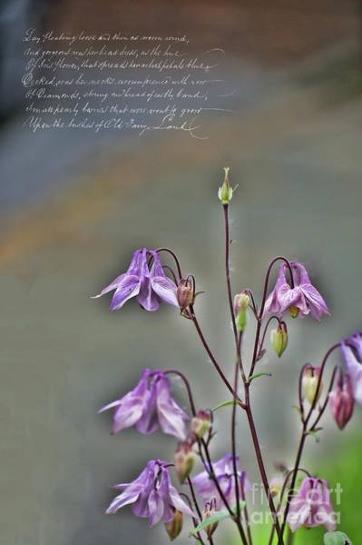 Photograph - Ethereal Columbine  by Brenda Kean