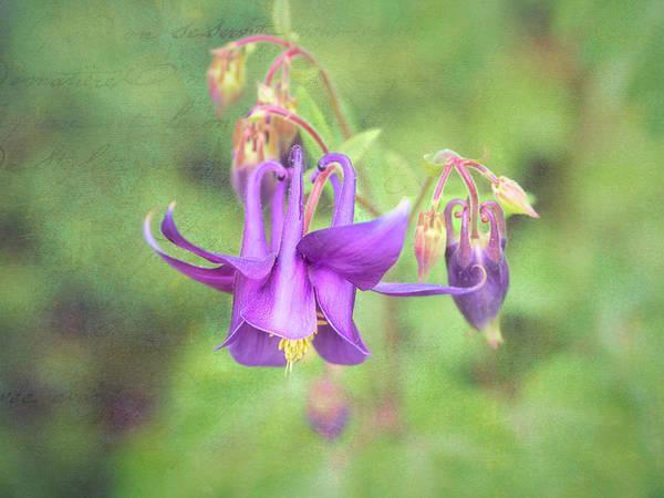 Photograph - Columbine State Flower Of Colorado. by Usha Peddamatham