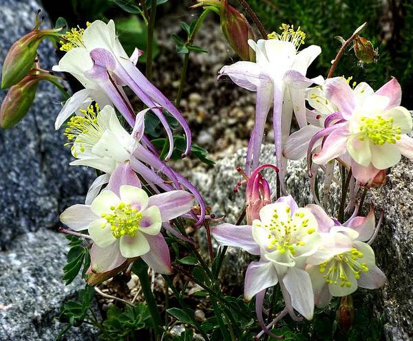 Photograph - Columbines by Mhiss Little