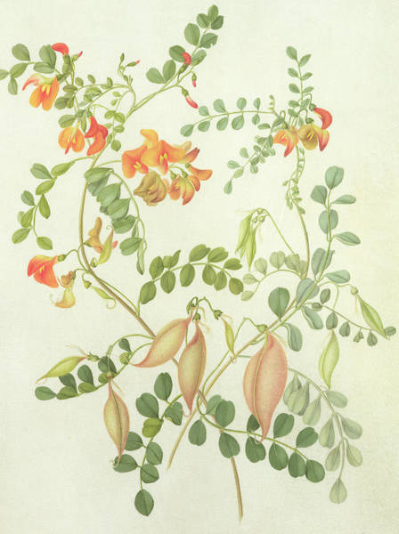 Decorative Drawing - Colutea Arbordscens Media by Matilda Conyers