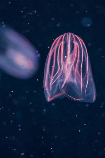 Photograph - Comb Jellies by Scott Campbell