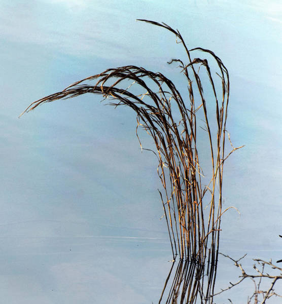 Photograph - Combie Lake Reeds by Norman Andrus