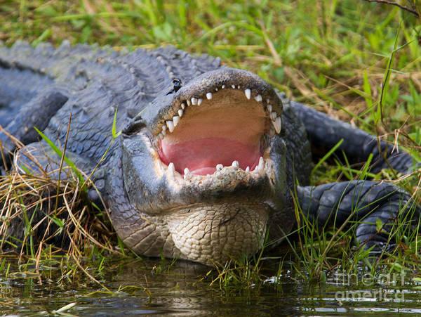 Alligators Wall Art - Photograph - Come A Bit Closer by Mike Dawson