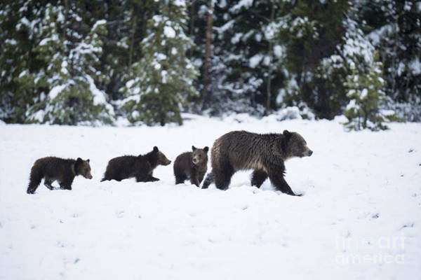 Wall Art - Photograph - Come Along - Grizzly Family by Sandra Bronstein