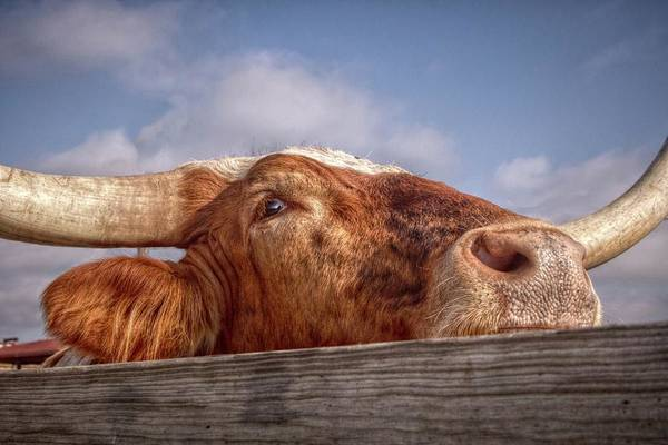 Longhorn Digital Art - Come Play With Me by Linda Unger