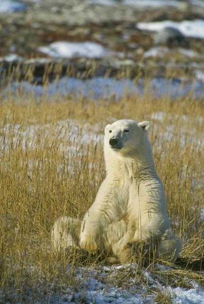 Comfortable Polar Bear Art Print