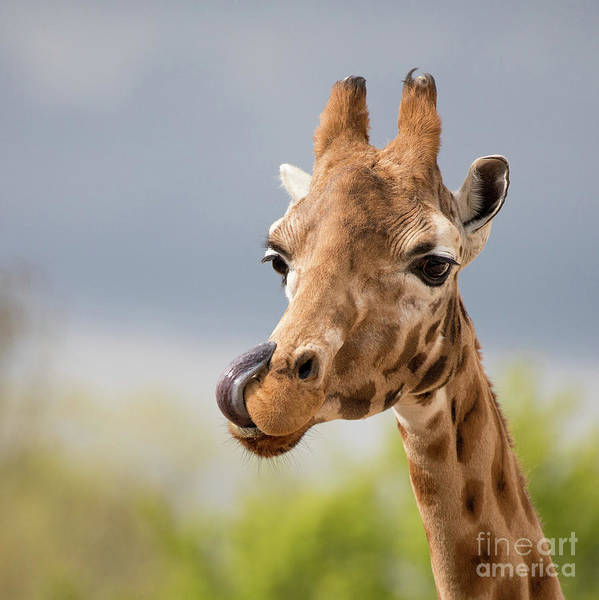Wall Art - Photograph - Comical Giraffe With His Tongue Out.  by Jane Rix