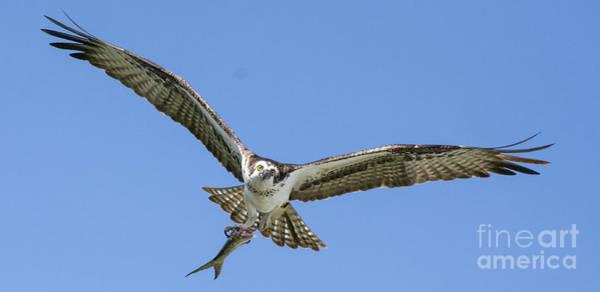 Sea Hawk Photograph - Comin Around by Quinn Sedam