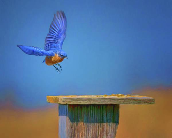 Turdidae Wall Art - Photograph - Coming Home - Bluebird by Nikolyn McDonald