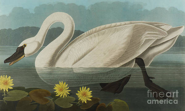 Wall Art - Painting - Common American Swan by John James Audubon