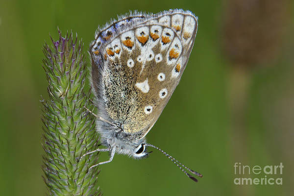 Common Blue Butterfly Art Print