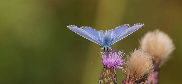 Photograph - Common Blue Butterfly by Wendy Cooper