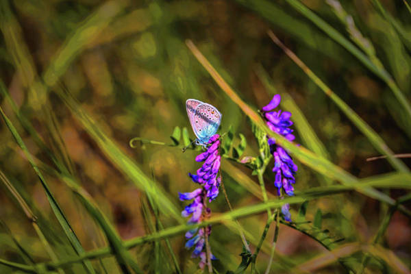 Photograph - Common Blue #h7 by Leif Sohlman