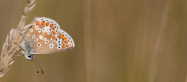 Photograph - Common Blue Roosting by Wendy Cooper