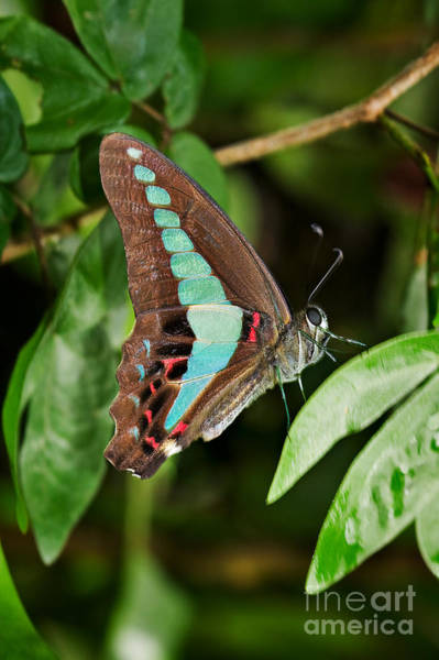 Wall Art - Photograph - Common Bluebottle Butterfly by Louise Heusinkveld
