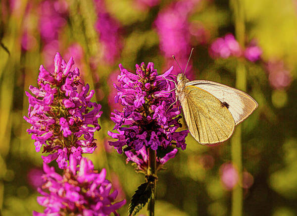 Photograph - Common Brimstone #f1 by Leif Sohlman