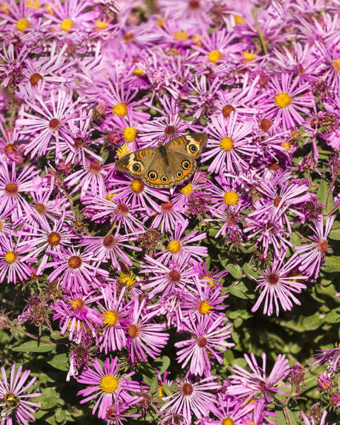 Buckeye Butterfly Wall Art - Photograph - Common Buckeye And Aster 2013-1 by Thomas Young