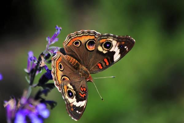 Photograph - Common Buckeye Butterfly by Carol Montoya