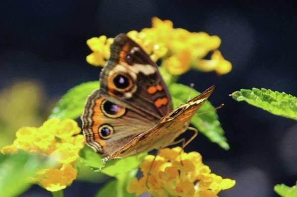 Photograph - Common Buckeye On Flower by Cynthia Guinn