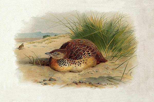 Mixed Media - Common Buttonquail By Thorburn by Archibald Thorburn