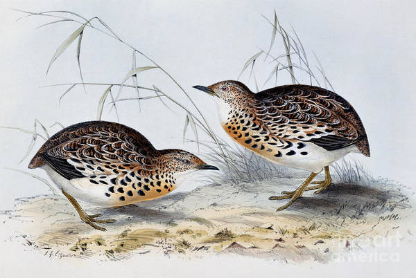 Wall Art - Painting - Common Buttonquail  by John Gould