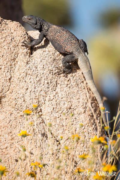 Chuckwalla Photograph - Common Chuckwalla by Joan Wallner