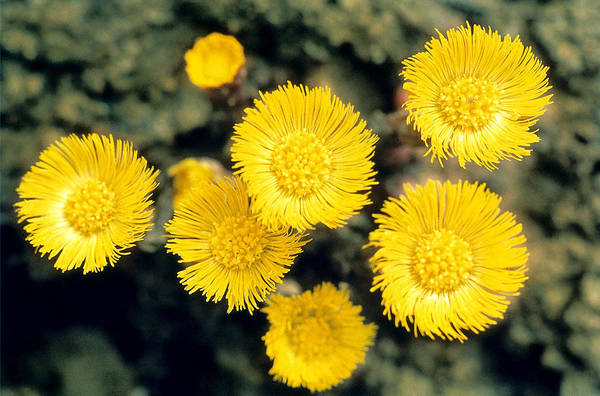 Golden Gardens Photograph - Common Coltsfoot  by American School
