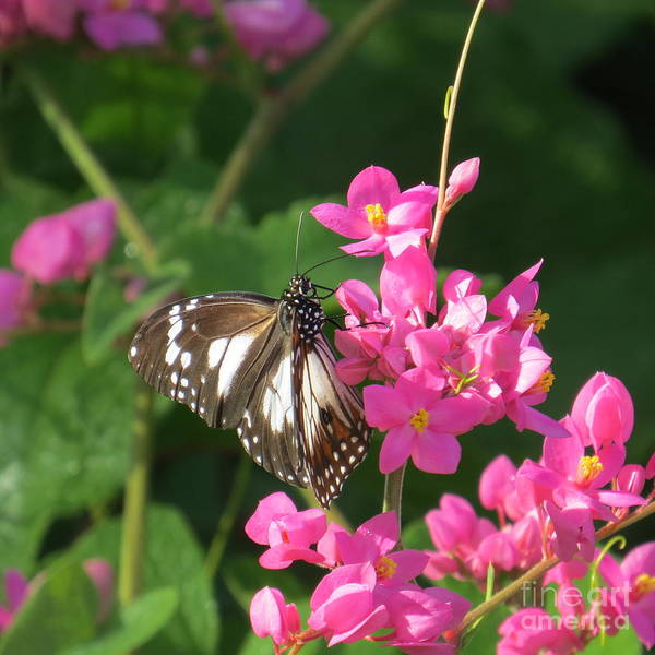 Evie Photograph - Common Crow Butterfly 3.  by Evie Hanlon