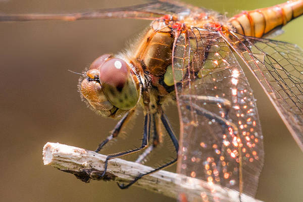 Dragonflies Photograph - Common Darter by Ian Hufton
