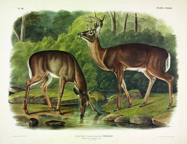 Wall Art - Painting - Common Deer by John James Audubon