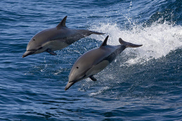 Photograph - Common Dolphin Pair Jumping Baja by Suzi Eszterhas