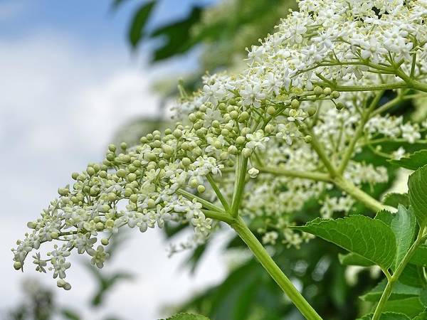 Photograph - Common Elderberry Flowers by Mhiss Little