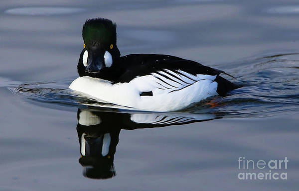 Photograph - Common Goldeneye Reflection by Sue Harper